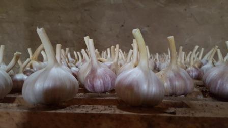 Uzbekistan garlic