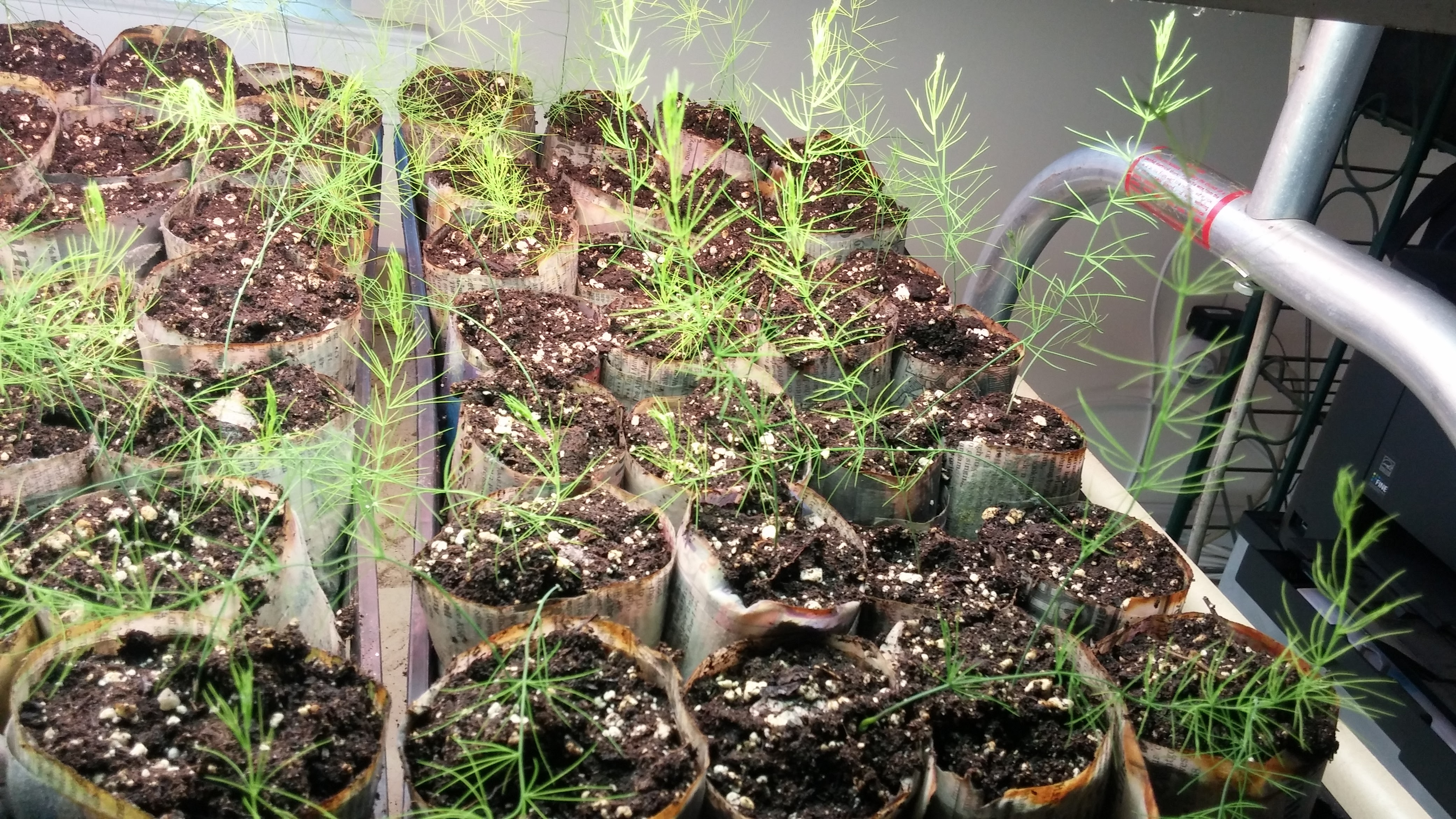 asparagus%20repotted%20under%20lights[1].jpg
