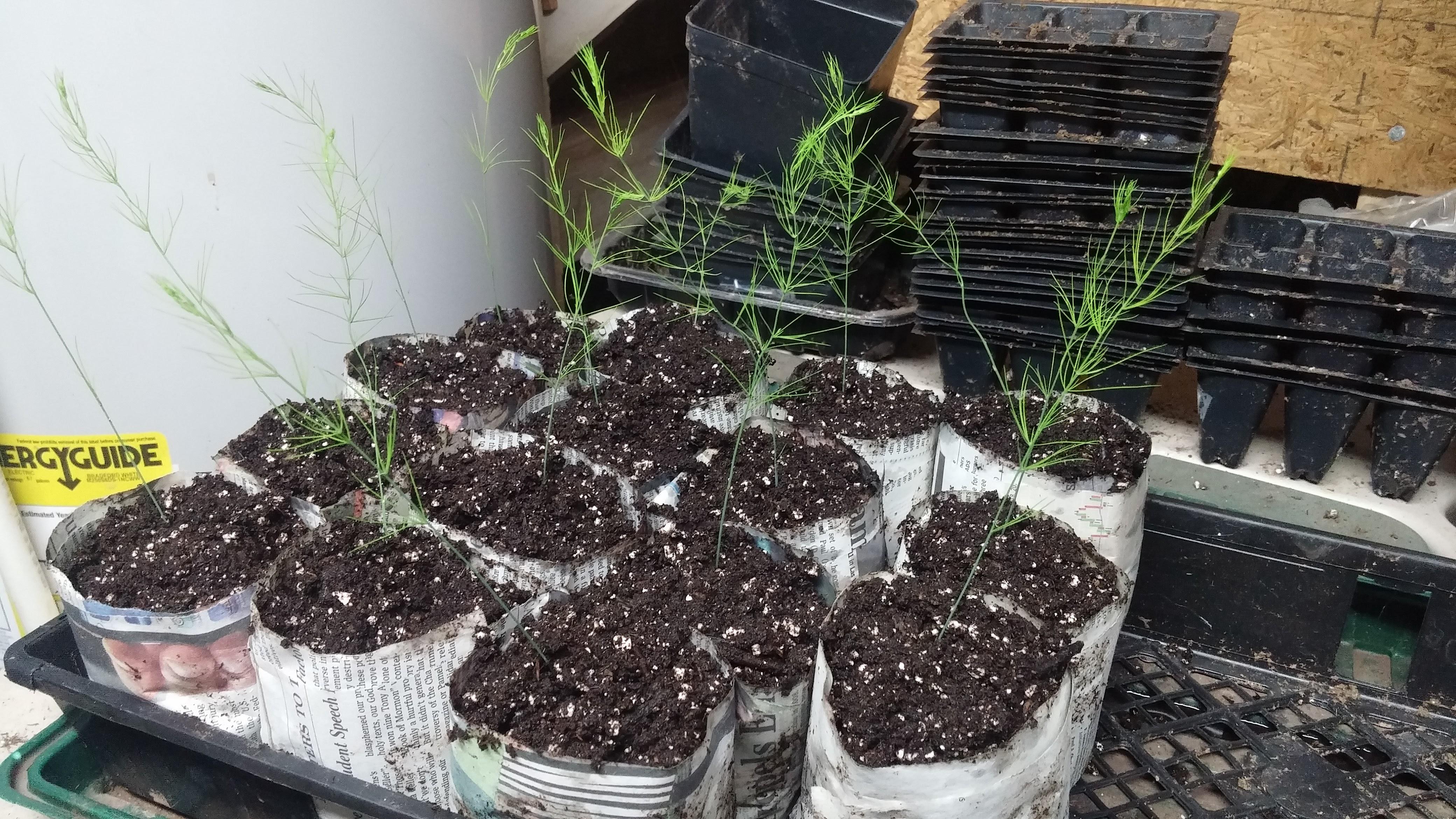 asparagus%20repotting[1].jpg