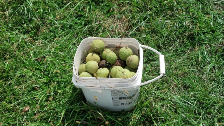 bucket%20black%20walnuts[1].jpg