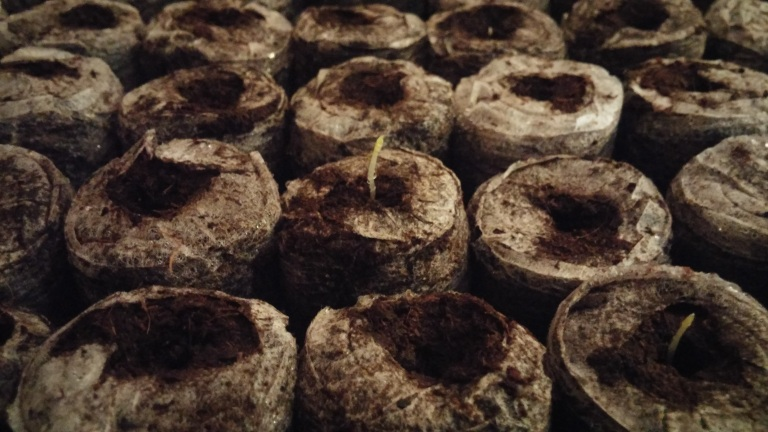 First%20PA%20asp%20germinated[1].jpg