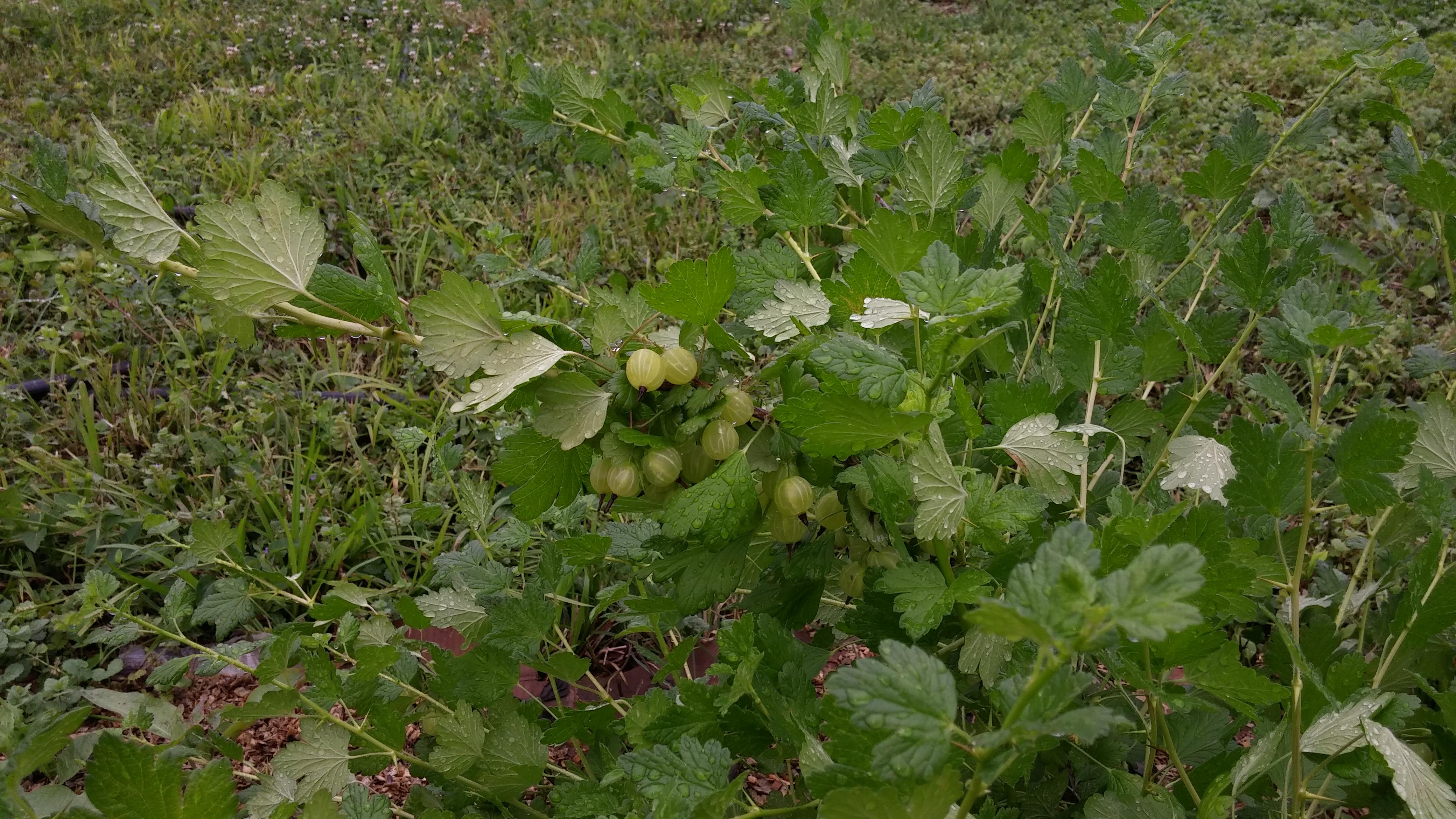 gooseberries%20on%20plant[1].jpg