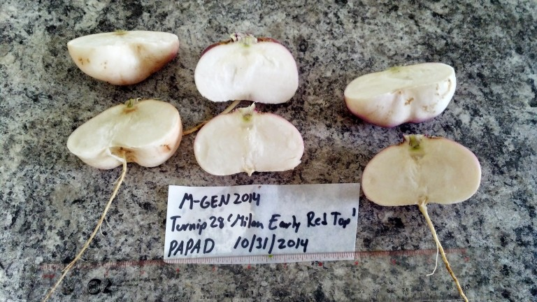 Milan%20Turnip%20Cut%20Roots%202014[1].jpg