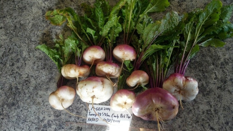 Milan%20turnip%20greens%20and%20roots%202014[1].jpg