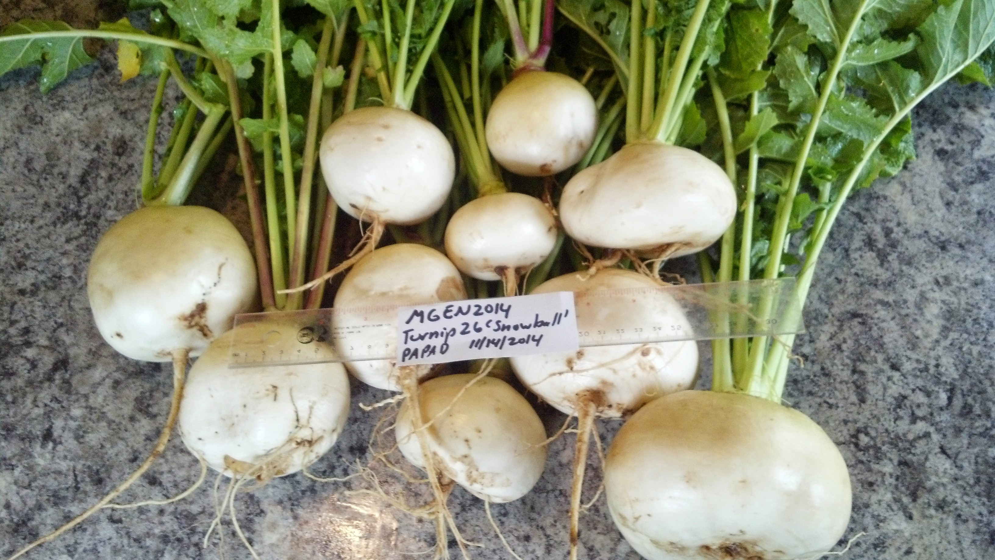 Snowball%20turnips%20greens%20and%20roots[1].jpg