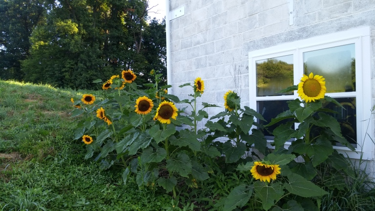 sunflowers%20August%202015[1].jpg